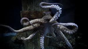Octopus00