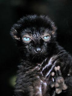 blacklemur
